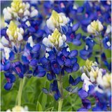 Seed Needs Bulk Package Texas Bluebonnet Seeds